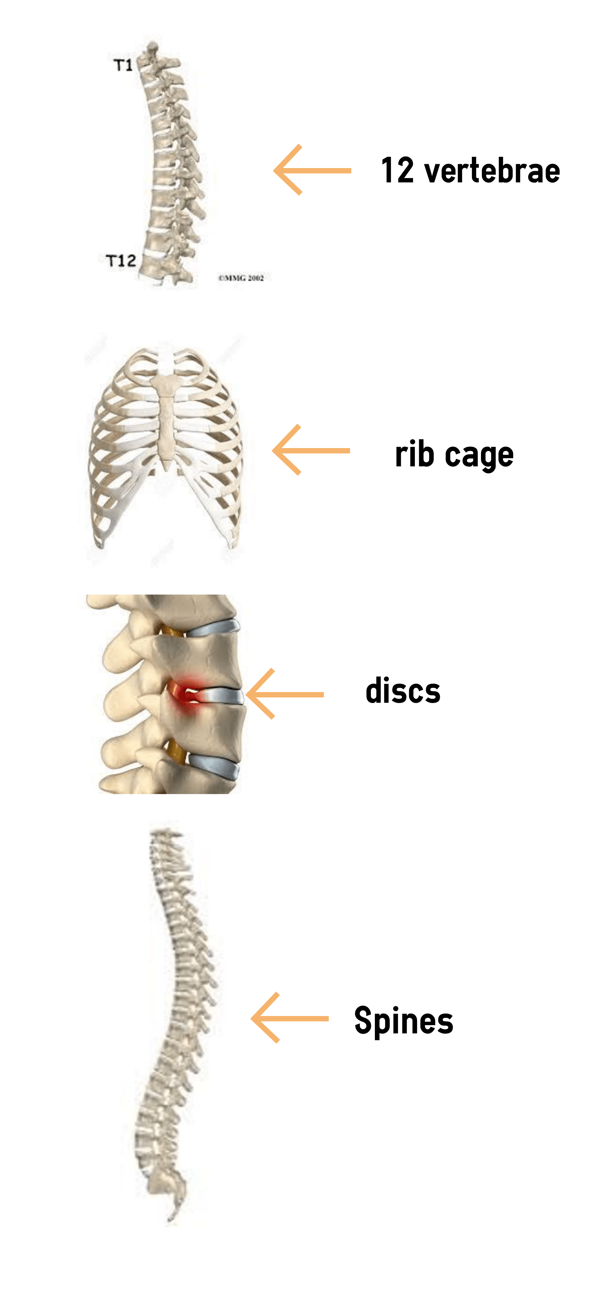 Thoracic spine is consisted of