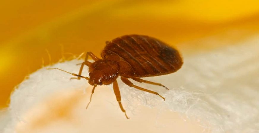 Can bed bugs live in a memory foam mattress