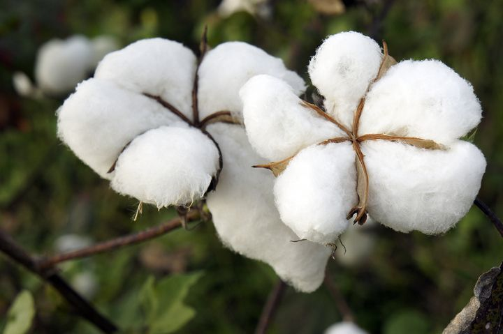 Natural Cotton plant
